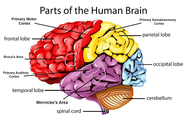 purpleisaprettycoolcolour: Psychology Notes - Brain ...
