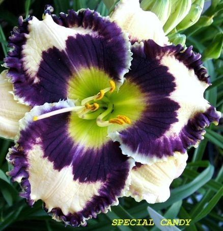 Spring 2017 Special Candy - (Stamile, 2006) height 32 in.(81 cm), bloom 4.25 in.(11 cm), season EM, Rebloom, Evergreen, Tetraploid, 35 buds, 6 branches,  Cream with violet eye and violet silver edge above green throat. (Rock Solid × Calling All Angels) Awards: HM (2012)
