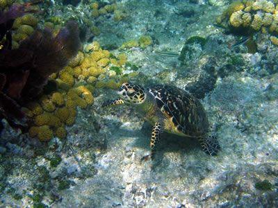 Green Sea Turtle At Western Dry Rocks Green Sea Turtle Turtle Key West