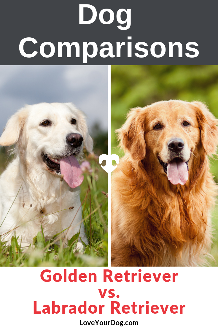 Golden Retriever Vs Labrador Retriever What S The Difference Golden Retriever Vs Labrador Golden Retriever Retriever