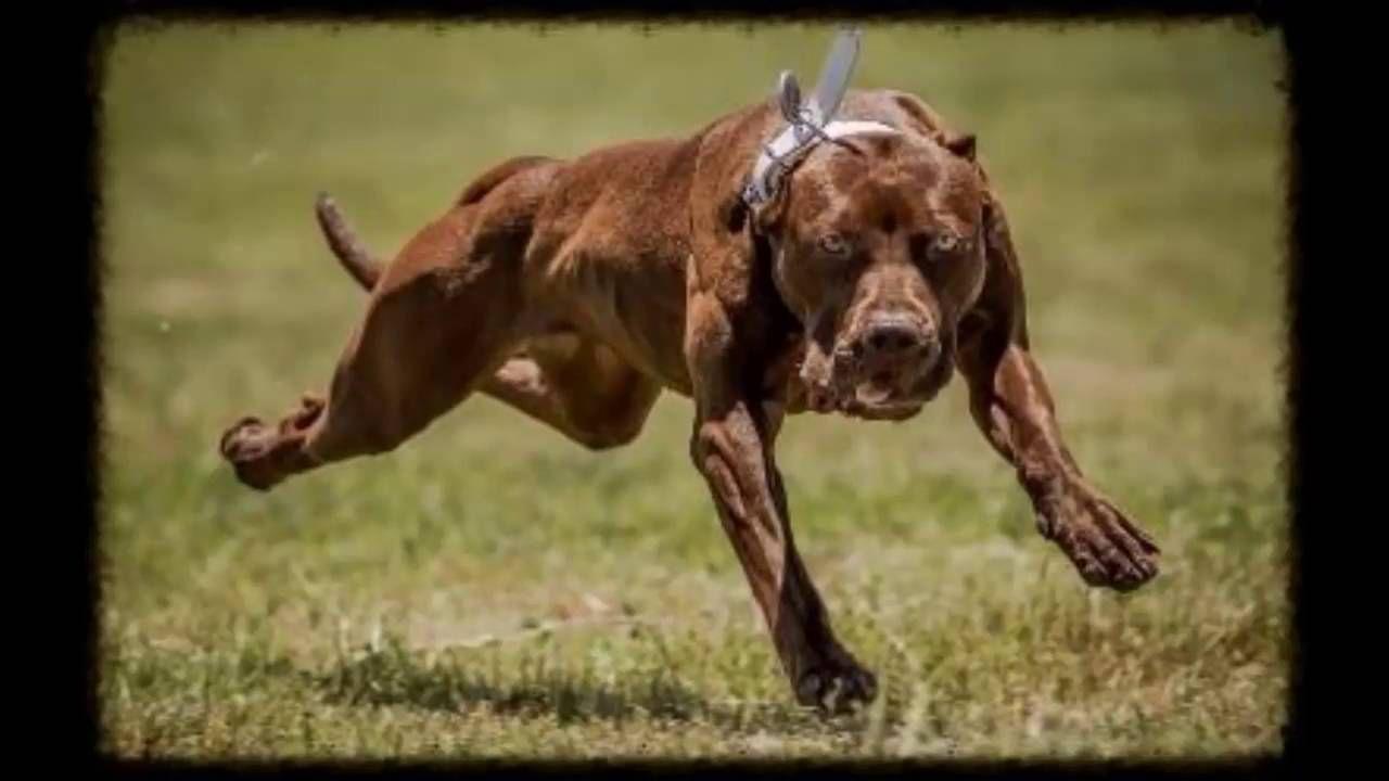 Rottweiler vs Pitbull FACTS #ViralDogMoments