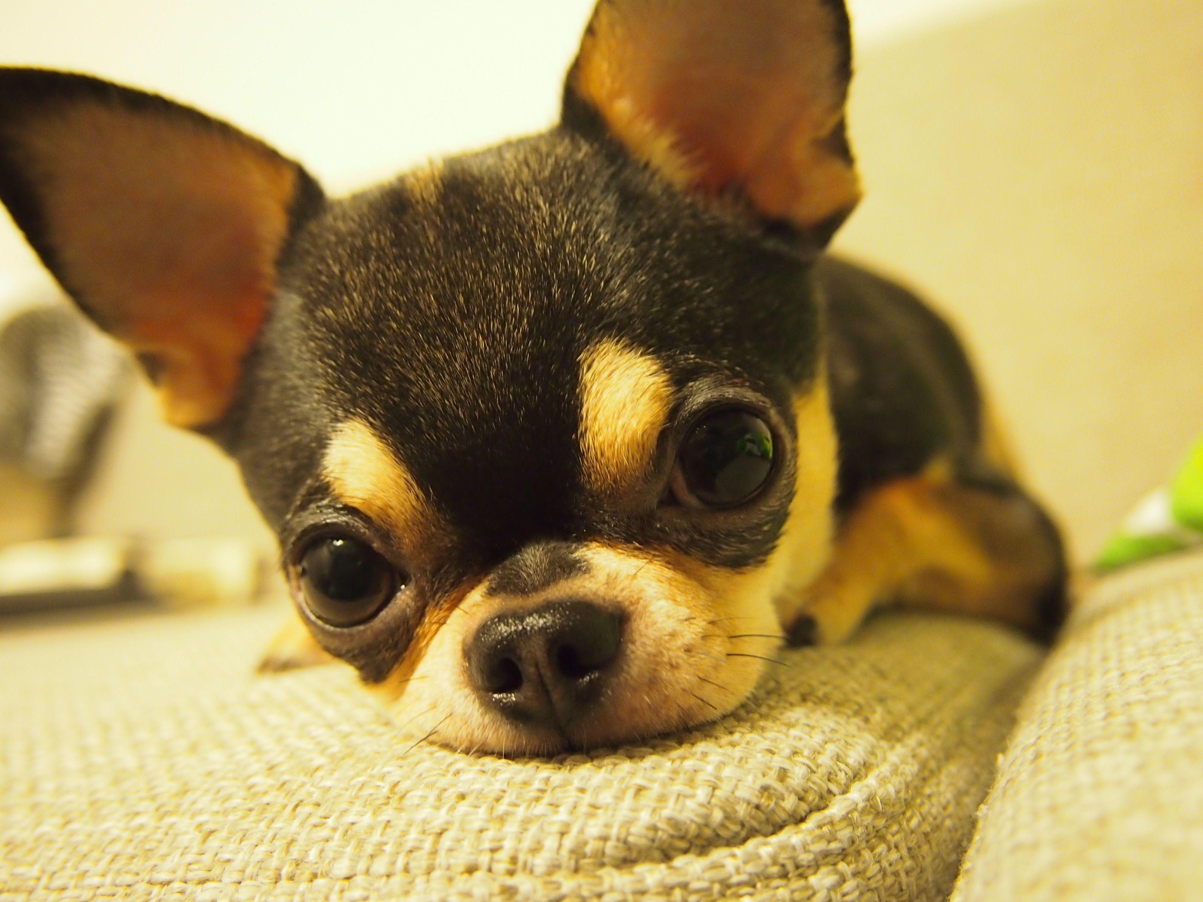 perfect little applehead chihuahua Chihuahua puppies
