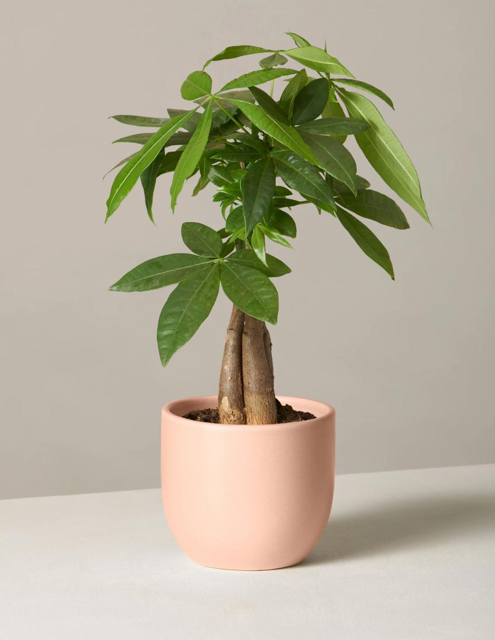 Money Tree Plant Di 2021 Bunga