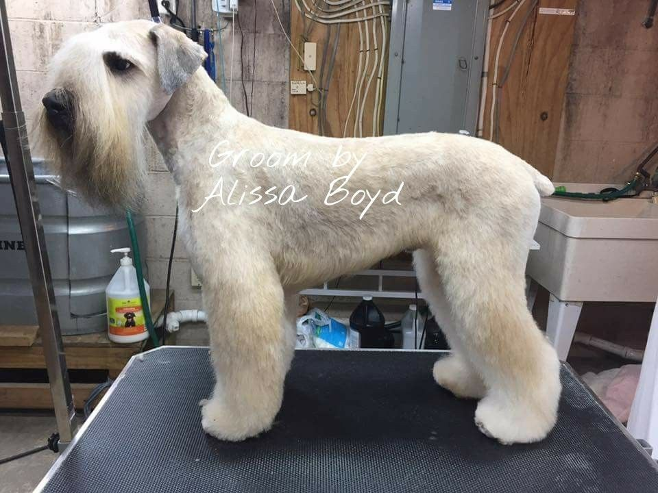Perfect Wheaten Terrier Groom Dog Grooming Salons Schnauzer