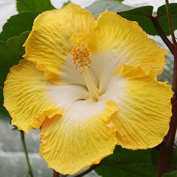 Giant Hibiscus Transcendent Hibiscus Plant Hibiscus Flowers Hibiscus