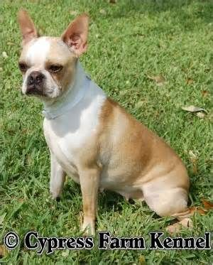 The Cream Boston Terrier Is Also Known
