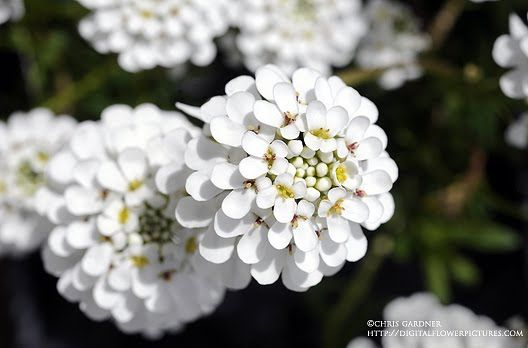 Iberis Purity Candytuft Digital Flowers Flower Pictures Evergreen