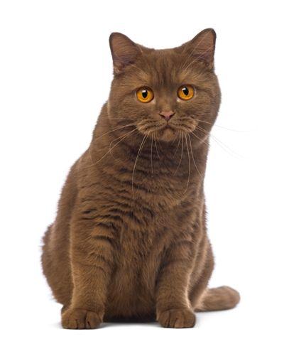 British Short Hair Cat Breed Information British Shorthair