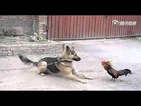 史上最牛的雞,沒有之一!
