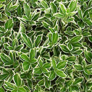 Euonymus japonicus 39 microphyllus albovariegatus 39 nombre for Arbustos de hoja perenne resistentes al frio