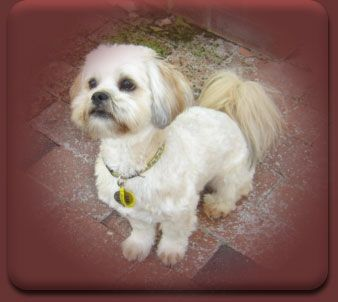 Pin On Lhasa Apso