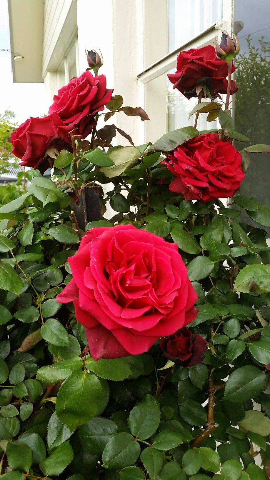 Papa Meilland My Garden Spring 2016 Pinterest