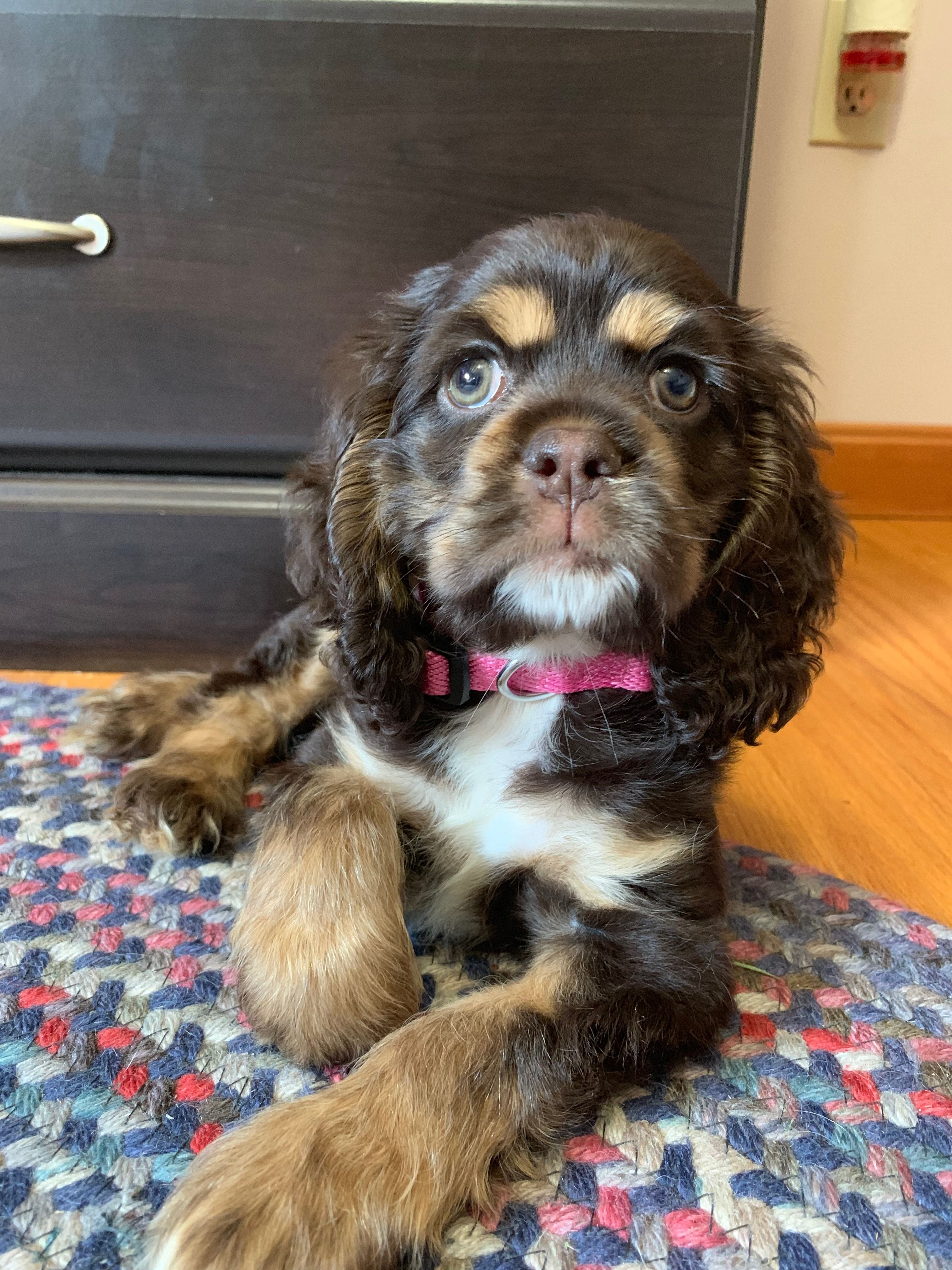 Pin By Sandy Cashler On Cocker Spaniels Spaniel Puppies Cute Puppies Cocker Spaniel