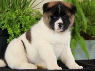 Daffy Ica Akita Puppies For Sale Akita Puppies Puppies