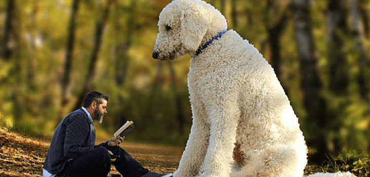 Juji The Giant Dog Juji 450 Pound Dog Actual Size Giant Dogs Big Dogs Goldendoodle