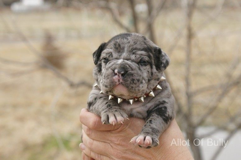 Blue Merle English Bulldog Bulldog Puppies English Bulldog Puppies Cute Dogs Breeds