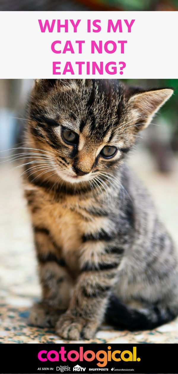 Why Is My Cat Not Eating? Causes, Risks, and Treatments