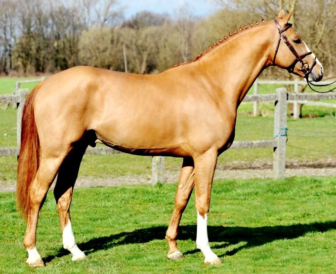 BWP Belgian warmblood stallion, Jappelloup vh Dauwhof.