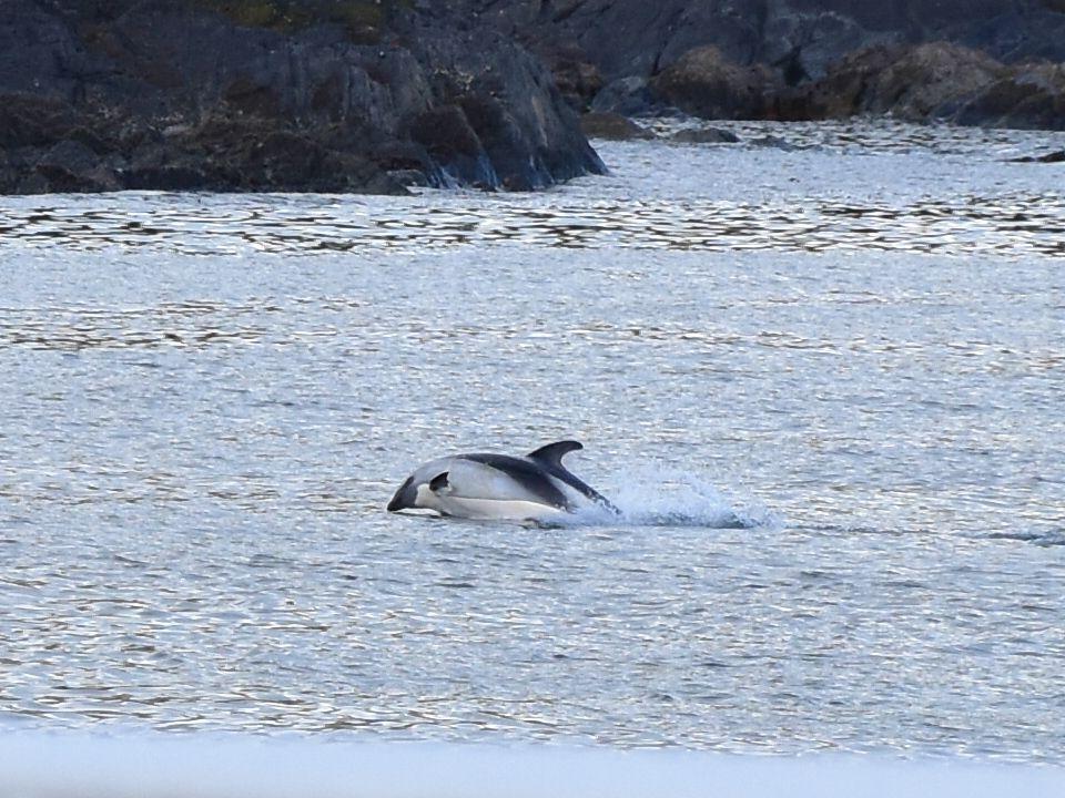 Delfín asutral