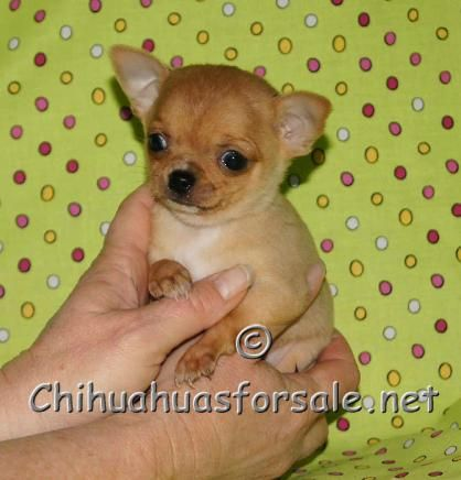 Capone At 7 Weeks Tiny And Cute Chihuahua Breeders Chihuahua