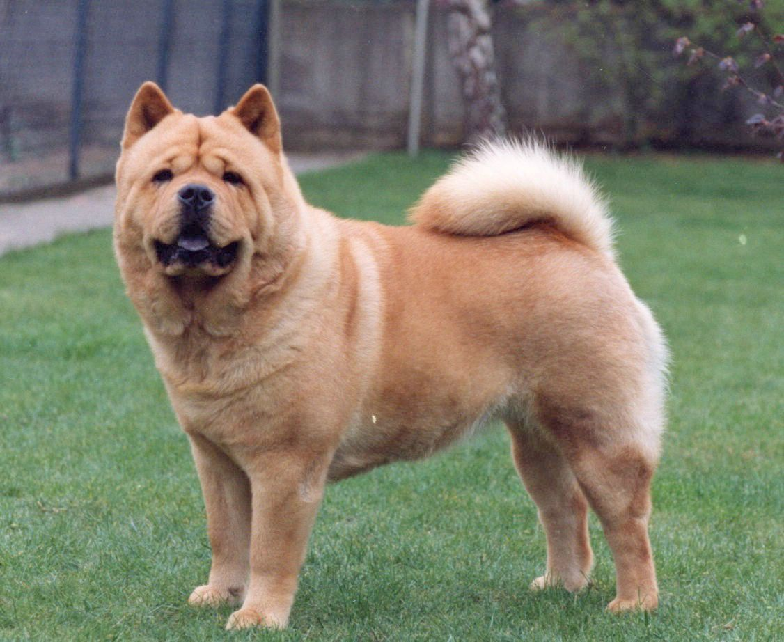Chows Are Born In Both Short And Long Hair Breeds Making Caring