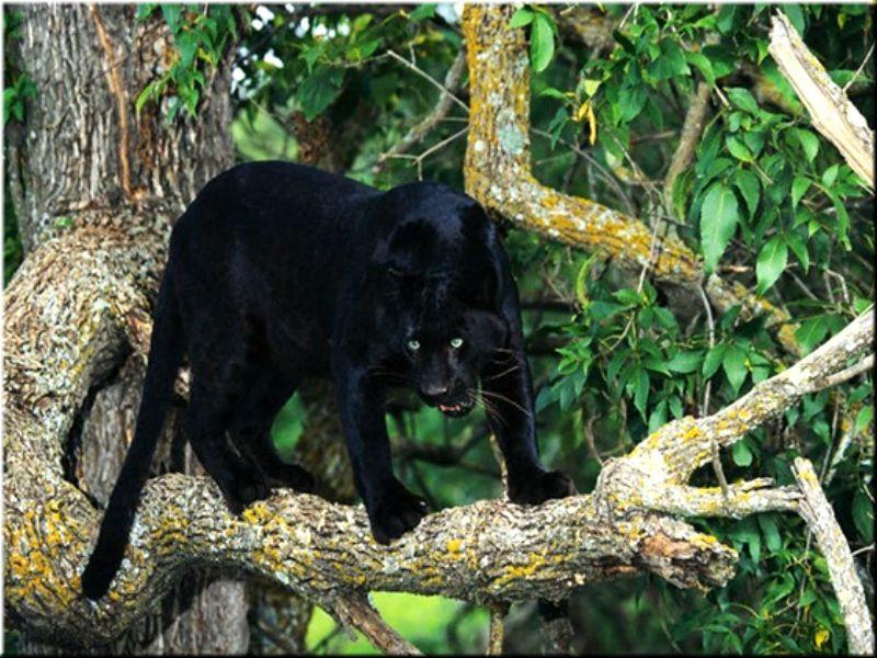 полуночная пантера онлайн