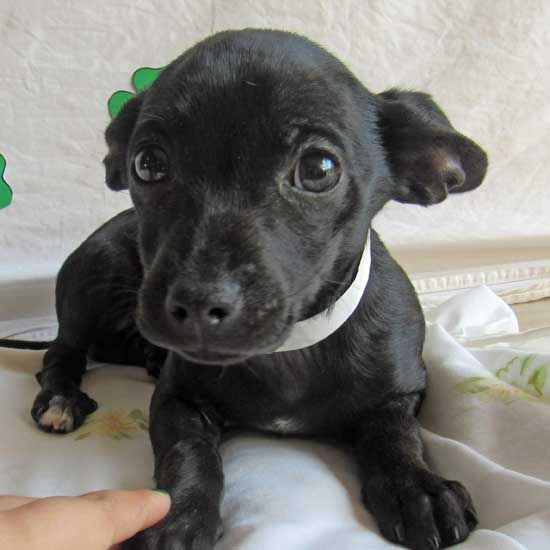 Adopt A Puppy Or Dog From San Diego County S Helen Woodward Animal