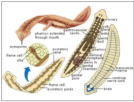 platyhelminthes anatómia
