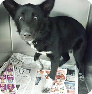 Gone Knoxville Tn Border Collie German Shepherd Dog Mix Meet