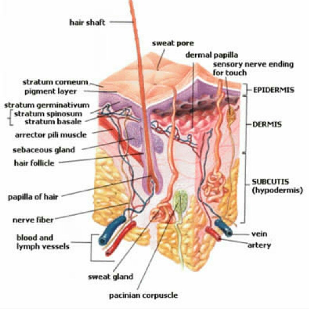 Diagram Of Human Nail Kenmore Dryer Heating Element Wiring Cross Section The Hair And Scalp Cosmetology
