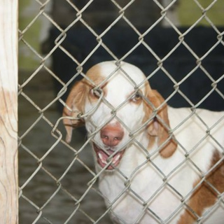 Help With Connor's Rescue 14-1066 Chesterfield, SC - Connor is a 2 year old hound mix on the Urgent List at Chesterfield Animal Services. This fundrazr has been started to help cover his pull fee and other initial vetting as well as his health certificate once he can travel north. He is great with ...
