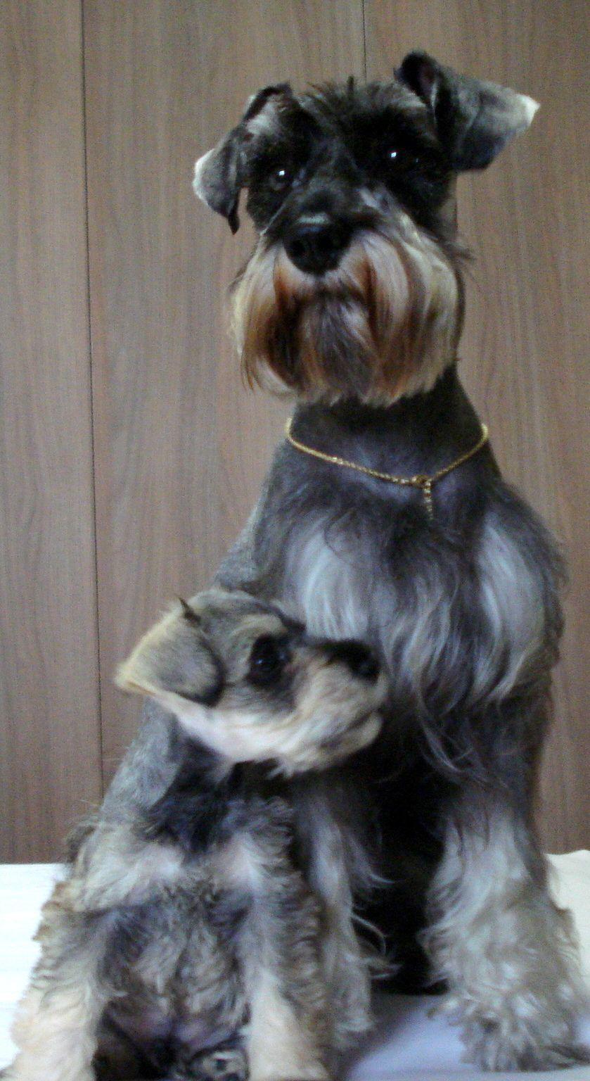 Buddy And Babybuddy Brazil Curtiba Perros Schnauzer Perros Snauzer Perros