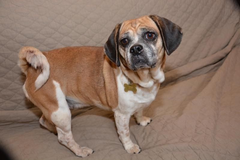Adopt Caramel On Pug Beagle Mix Adoption Pugs