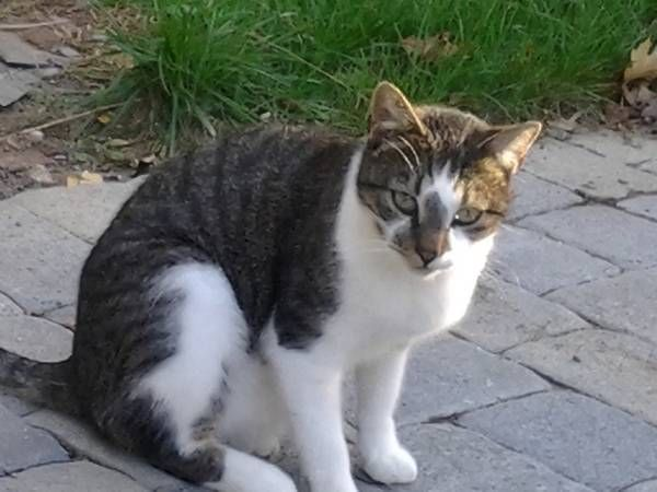 Tabby And White Favorite This Post Lost Cat Porter St Manchester
