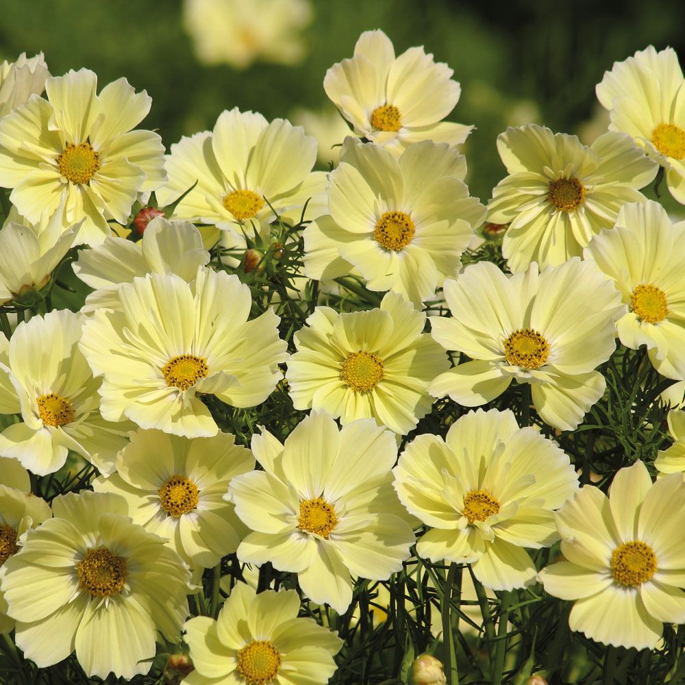 Cosmos bipinnatus xanthos cosmos seeds and cut flowers xanthos cosmos seeds the first true yellow blooms in huge numbers for the annual bed or patio container winner of the fleuroselect gold medal izmirmasajfo Image collections