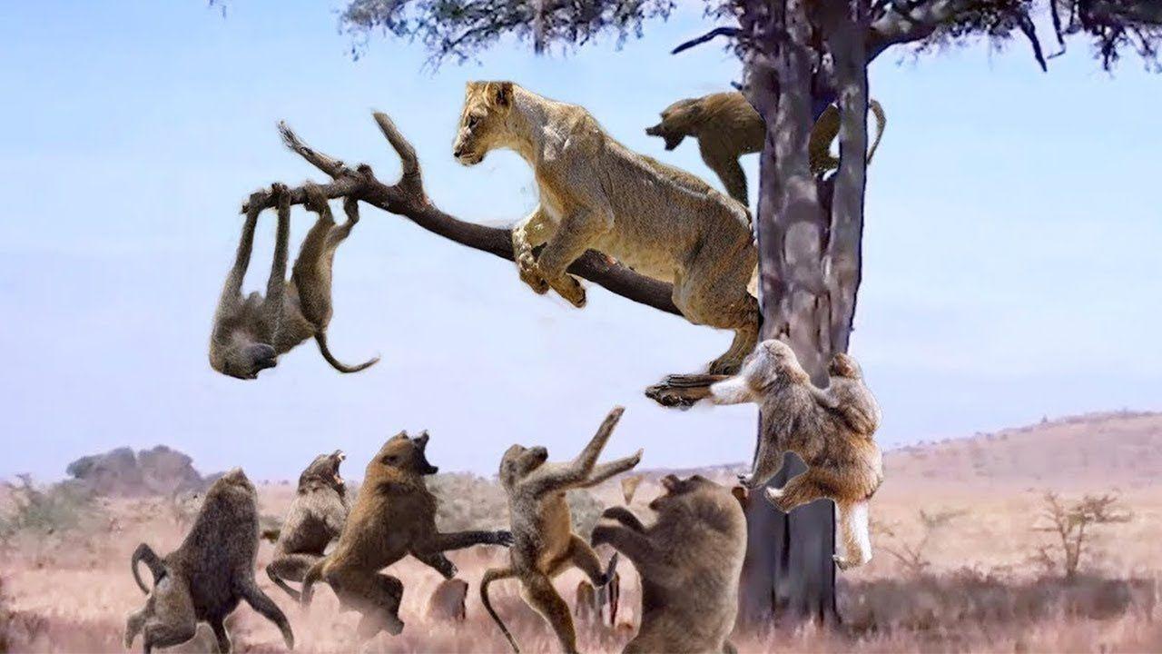Lion Hunts Monkey On The Tree - Lion Vs Monkey Perfect ...
