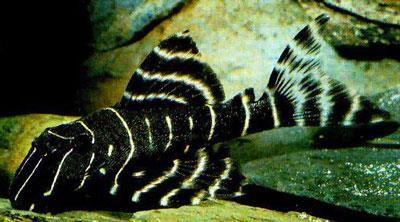 L204 Flash Pleco Freshwater Aquarium Fish Aquarium Fish Plecostomus