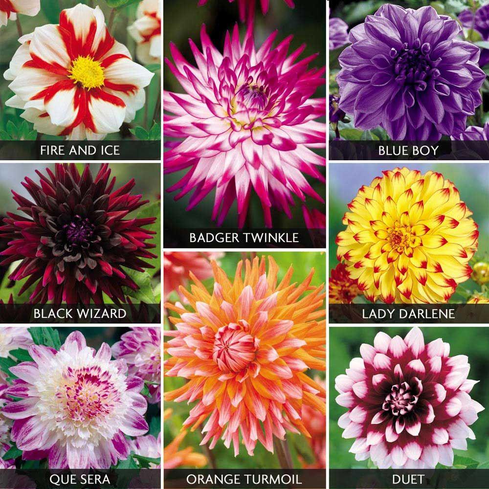 Dahlia extravaganza collection dream garden pinterest dahlia dahlia varieties google search izmirmasajfo