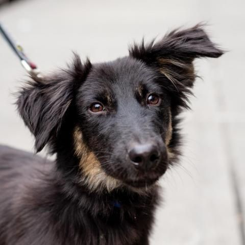 Adopt Tom on Dogs, Animals, Whippet mix