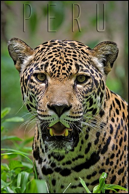 °Jaguar (Panthera onca)