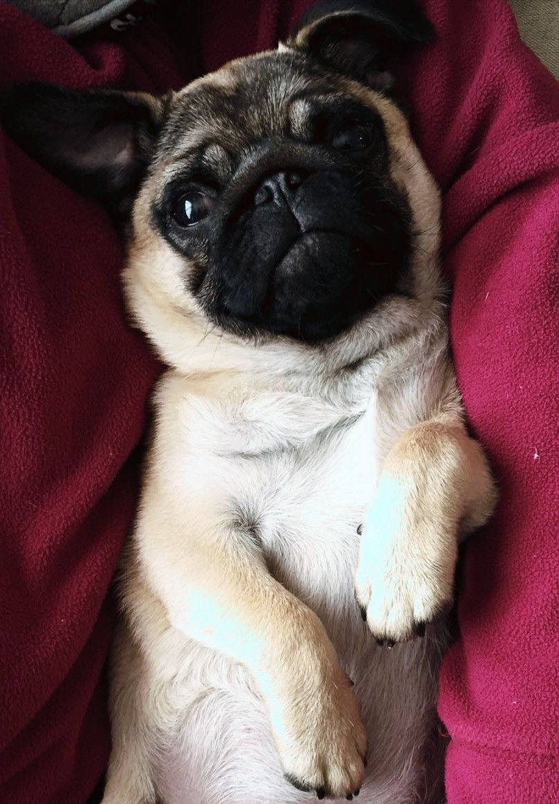 Pin By Dotts Reeves On Puggies Cute Pug Pictures Cute Baby