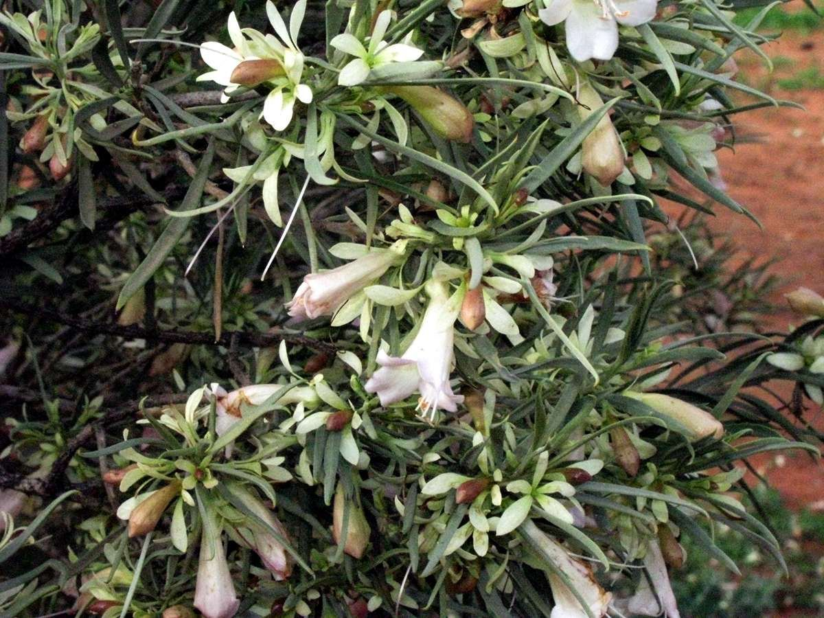 This Eremophila sp. is a small tree in the main camping ground at ...