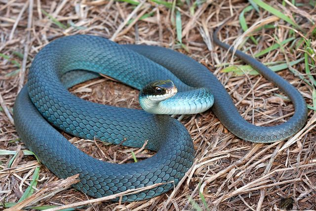 Nature And More Pet Snake Animals Types Of Snake