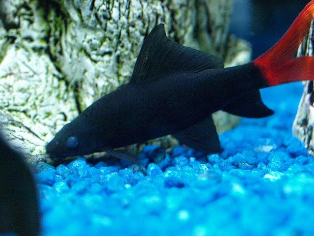Albino Red Tailed Black Shark | Exotic Tropical Ornamental Fish Photos With Names | Fish Secrets