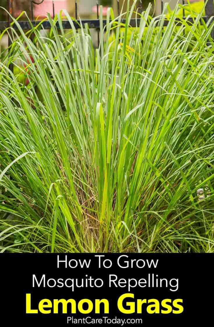 Lemongrass Plant: How To Care For Lemon Grass #mosquitoplants
