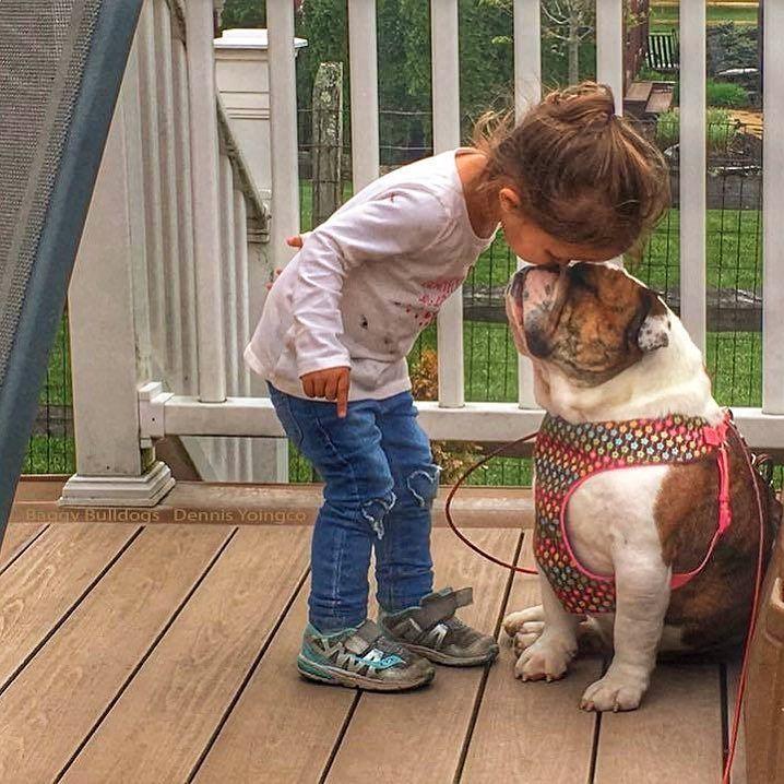 All About English Bulldogs Bulldog Puppies Blue French Bulldog