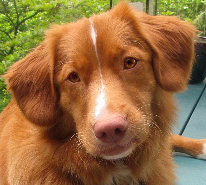 Qantas Is Our Rescued Toller He S Developed Into An Awesome Dog