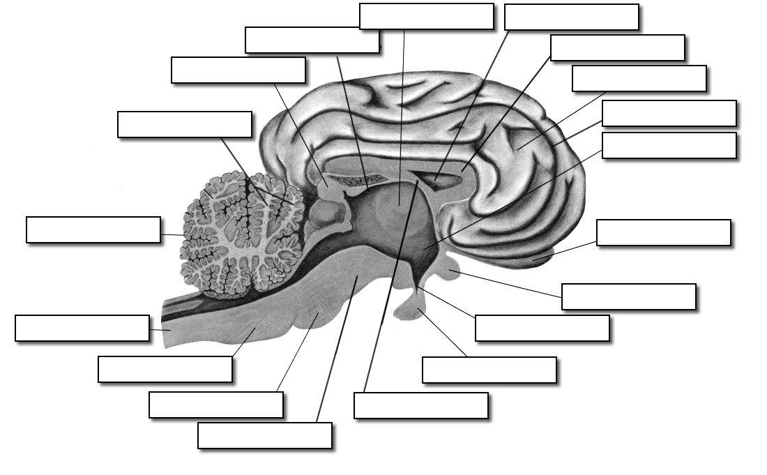 unlabeled brain