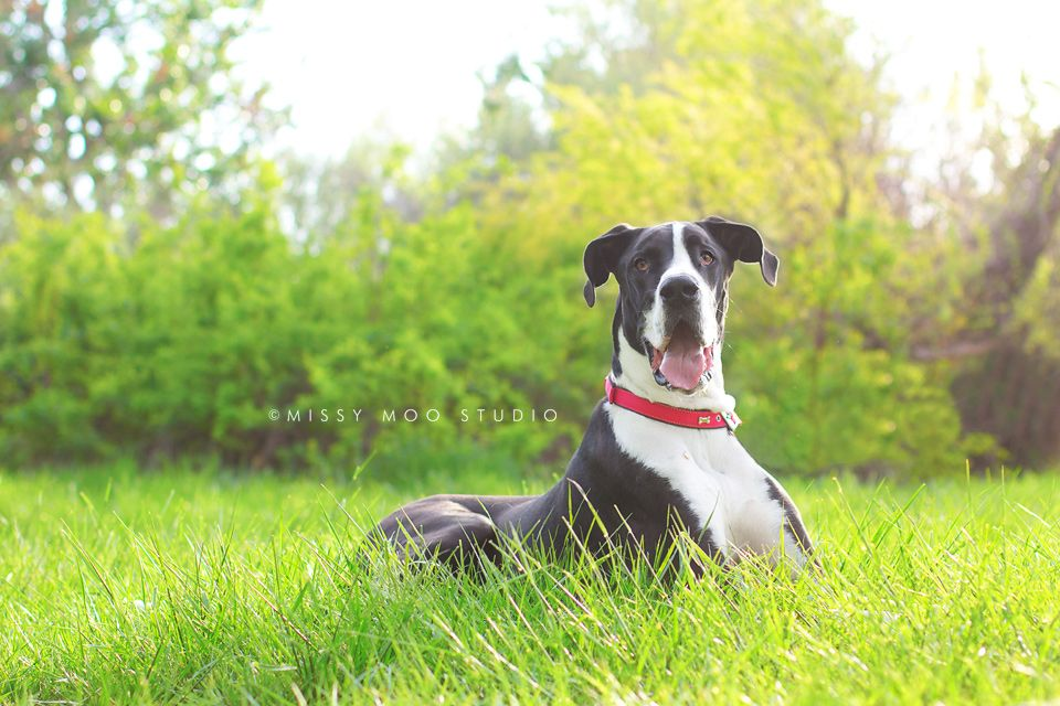Great Dane Photos By Me Dogs Dogs Puppies Giant Dogs