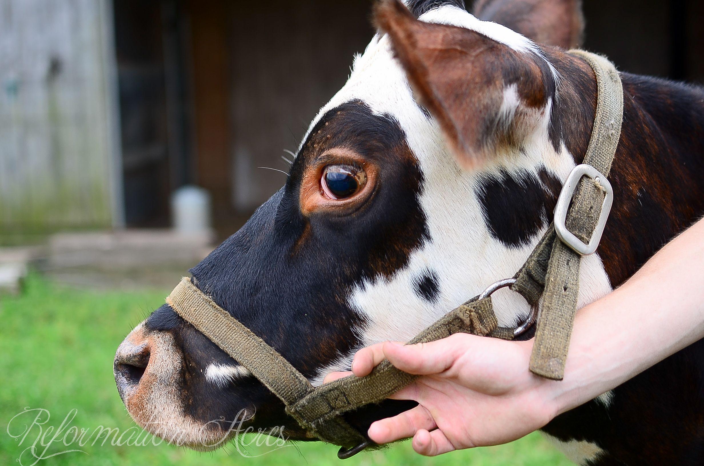 Family Milk Cow 101 Cow Barnyard Animals Baby Cows